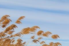 Pampas grass Stock Photo