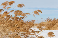 Pampas grass Royalty Free Stock Photography