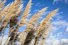 Pampas Grass Stock Photography