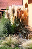 Pampas grass blooms Royalty Free Stock Image