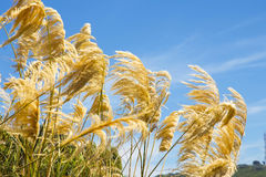 Pampas grass blowing in the wind against a blue sky. Pampas grass, or as called, toetoe grass from the maori term, grows well in New Zealand's temperate climate stock images