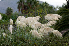 Pampas grass blowing in the wind Stock Photo
