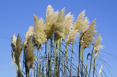 Pampas Grass and Blue Sky Backdrop Royalty Free Stock Photography