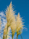 Pampas grass and blue sky. Group of pampas grass (Cortaderia selloana) with blue sky royalty free stock image