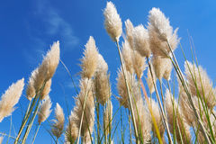 Pampas grass in a blue sky Royalty Free Stock Photo