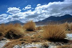Pampas Grass  in Bolivia,Bolivia. Pampas Grass in Landscape at Eduardo Avaroa National Reserve,Bolivia Stock Photo