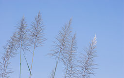 Pampas grass Stock Images
