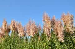 Pampas grass, Cortaderia Royalty Free Stock Image