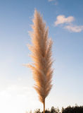 Pampas grass (Cortaderia selloana),. Outdoors with sunlight Royalty Free Stock Images