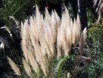 Pampas grass - Cortaderia selloana Royalty Free Stock Photo