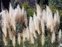 Pampas grass - Cortaderia selloana. Beautiful Pampas grass - photo taken in Parc de la Ciutadella, Barcelona, Spain, in February Royalty Free Stock Photos