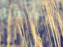 Pampas grass, Cortaderia selloana close up. Close up of pampas grass on a cold day Stock Photos