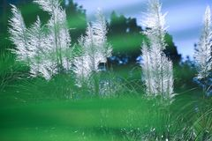 Pampas grass -Cortaderia selloana. Fluffy white branches of the cortaderia against the blue sky Stock Photography