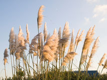 Pampas grass, Cortaderia selloana outdoors. Pampas grass (Cortaderia selloana) in the afternoon with sunlight Royalty Free Stock Image
