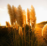 Pampas grass (Cortaderia selloana) in square composition Stock Photo