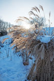 Pampas grass, cortaderia selloana in wintry park. Landscape Royalty Free Stock Image