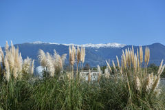 Pampas grass, or cortaderia Royalty Free Stock Photography