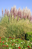 Pampas grass and dahlias Stock Images