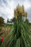 Pampas grass and dark clouds Stock Images