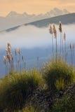 Pampas Grass - Ecuador - South America Stock Photos
