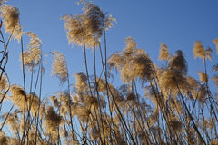 Pampas grass at evening Royalty Free Stock Photography