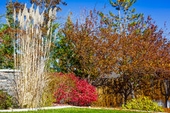 Pampas Grass, Fall Color Stock Image