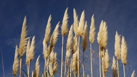 Pampas Grass Flowers Royalty Free Stock Image