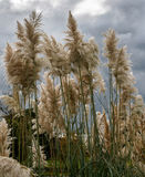 Pampas Grass in full bloom. Against a leaden sky Stock Photos