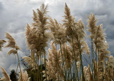Pampas Grass in full bloom. Against a leaden sky Stock Photography