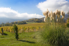 Pampas grass in a garden in the alps of France. Pampas grass in a garden in the alps of France with blue sky Stock Image