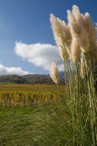 Pampas grass in a garden in the alps of France. Pampas grass in a garden in the alps of France with blue sky Royalty Free Stock Photo