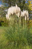 Pampas grass in the garden in autumn. Stock Photos
