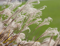 Pampas grass on green background Stock Photography