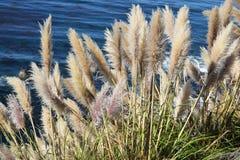 Pampas grass Royalty Free Stock Photo