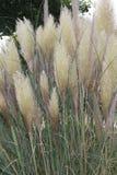 Pampas Grass growing in a garden area.  Stock Photo