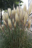 Pampas Grass growing in a garden area.  Royalty Free Stock Image