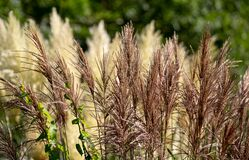 Pampas grass growing outside Eastcote House historic walled garden in the Borough of Hillingdon, London, UK.