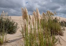 Pampas grass growing in the sand at the Alexandria coastal dune fields near Addo / Colchester, South Africa. Pampas grass growing in the sand at the Alexandria stock photos