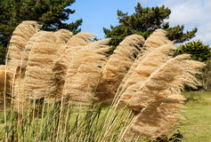 Pampas Grass Heads. Pampas grass seed heads with the wind blowing through them Stock Photography