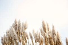 Free Pampas Grass In The Sky, Abstract Natural Background Of Soft Plants Cortaderia Selloana Moving In The Wind. Bright And Clear Scene Royalty Free Stock Photos - 172277748