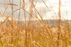 Free Pampas Grass In The Wind With Clouds And Sky Royalty Free Stock Photography - 122790097