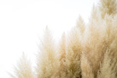Pampas grass on isolated background Stock Image