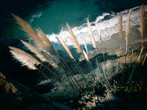 Pampas Grass (Jubata Grass) Royalty Free Stock Image