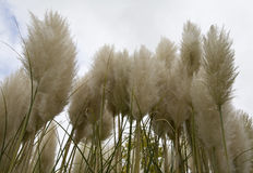 Pampas Grass. Stock Photography