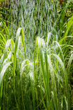 Pampas grass in the morning rain royalty free stock photos