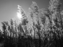 Pampas grass black and white. Morning sunlight through pampas grass Royalty Free Stock Photo