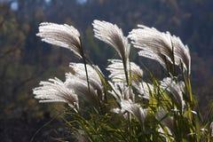 Pampas grass. Mountain flowers mountain Stock Photo