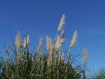 Pampas grass opposite a blue sky Royalty Free Stock Photo