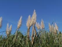Pampas grass opposite a blue sky Stock Photo