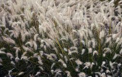 Pampas-grass. In a space Stock Photo